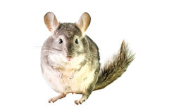 Fette Chinchilla auf weißem Hintergrund Lizenzfreies Stockfoto