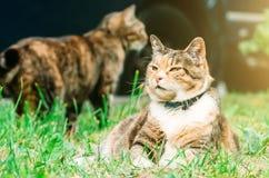 Fette Pussykatze liegt auf einer Graswiese, im Hintergrund eine weitere Katze Stockbild