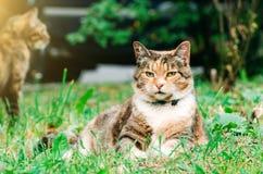 Fette Pussykatze liegt auf einer Graswiese, im Hintergrund eine weitere Katze Lizenzfreies Stockfoto