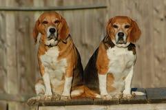 Fette Spürhund-Schwestern Lizenzfreies Stockbild