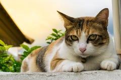 Fette thailändische Katze, die auf einer Wand nahe einem Baum im Haus vor Sonnenuntergang liegt Stockfotografie