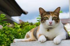 Fette thailändische Katze, die auf einer Wand nahe einem Baum im Haus vor Sonnenuntergang liegt Stockfoto