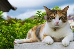 Fette thailändische Katze, die auf einer Wand nahe einem Baum im Haus vor Sonnenuntergang liegt Stockfotos