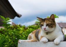 Fette thailändische Katze, die auf einer Wand nahe einem Baum im Haus vor Sonnenuntergang liegt Stockbild
