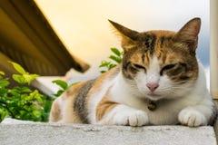 Fette thailändische Katze, die auf einer Wand nahe einem Baum im Haus vor Sonnenuntergang liegt Lizenzfreie Stockfotos