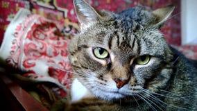 Fette traurige Mündung von einer Katze Zuerst die Kamera betrachtend, dreht dann sich stock video footage