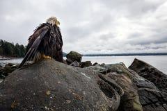 Mutter verbreitete Adler
