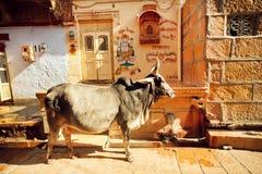 Fetter indischer Kuhstand in der schmalen Straße Lizenzfreies Stockfoto