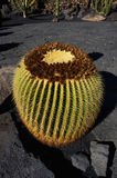 Fetter Kaktus Stockbild