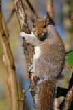 Fettes Eichhörnchen, das Sie betrachtet Lizenzfreies Stockfoto