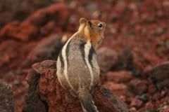 Fettes Eichhörnchen auf roter Asche Stockfotografie