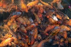 Fettes Familiengoldfischherausspringen des Wassers mit dem offenen Mund zu erhalten stockbilder