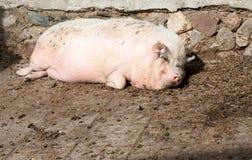 Fettes Schwein, das aus den Grund liegt Stockbild