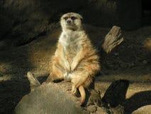 Fettes und Sassy Meerkat Stockfotos