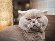 Fetthaltige graue Katze schläft Lizenzfreie Stockfotografie