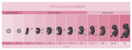 Fetus development, vetor. Fetus development with stages, vetor Stock Images