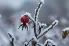 Fetus of dog-rose. Frozen fetus of dog-rose with frost Royalty Free Stock Images