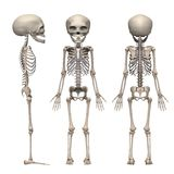 Fetus skeleton Stock Photography