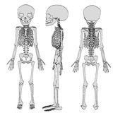 Fetus skeleton Royalty Free Stock Images