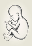 Fetus. Sketch illustration of human fetus Royalty Free Stock Photos