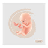 Fetus Stage Illustration. Fetal icon. Seven week embryo. Pregna. Ncy stage Stock Images