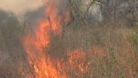 Feu de broussailles brûlant sur la savane banque de vidéos