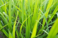 Feu vert d'herbe le soir photos libres de droits