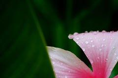 Feucht mit Wassertropfen auf rosa Hibiscus Rosa-sinensis des tropischen grünen Gartenhintergrundes Lizenzfreie Stockfotos