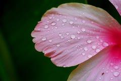 Feucht mit Wassertropfen auf rosa Hibiscus Rosa-sinensis des tropischen grünen Gartenhintergrundes Stockbild