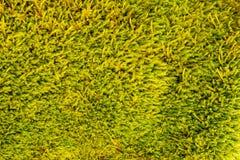 Feuchte und gelbgrüne Moosbeschaffenheit Stockbilder
