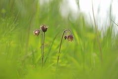 Feuchtwiesen stützen manchmal diese schöne Blume, die als Wasser Avens bekannt ist lizenzfreie stockfotos