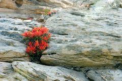 Feuer-Blume aus den Felsen heraus Lizenzfreies Stockfoto