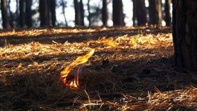 Feuer in einem Kiefernwald stock footage