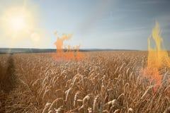 Feuer an einem Weizenfeld mit heißer Sonne lizenzfreie stockfotografie