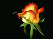 Feuer gespitzte Rose Stockfotografie