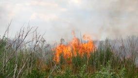 Feuer im Wald, in den brennenden Bäumen und im Gras stock video footage