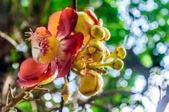 Feuer-Lilie oder Glory Lily Gloriosa-superba nannte Greifer der Flamme, der kletternden oder kriechenden Lilie oder des Tigers Di stockfoto