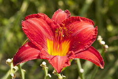 Feuer-Lilie in voller Blüte mit dem zerstreuten Blütenstaub Lizenzfreie Stockfotos