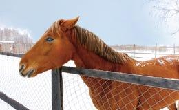 Feuer-Pferd Stockbilder