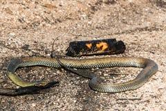 Feuer in Portugal - gebrannte Schlange Stockbild