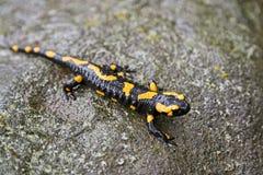 Feuer Salamander Lizenzfreies Stockbild