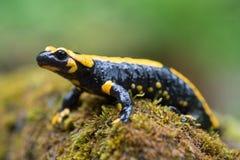 Feuer Salamander Lizenzfreie Stockfotos