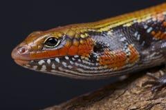 Feuer skink/Lepidothryris-fernandi Stockfotografie