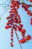 Feuer von Pakistan-Blume Lizenzfreies Stockbild
