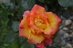 Feuerkugel Rose lizenzfreies stockfoto
