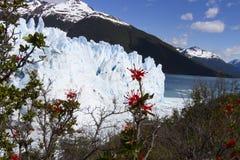 Feuern Sie Busch bei Perito Moreno Glacier, Nationalpark Los Glaciares ab, lizenzfreie stockfotos