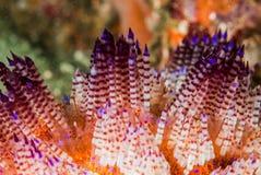 Feuern Sie Seeigel in Ambon, Maluku, Indonesien-Unterwasserfoto Stockbilder