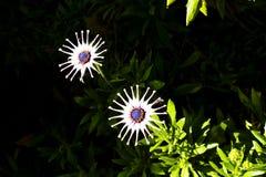 Feuerradgänseblümchen auf dunklem Hintergrund Lizenzfreie Stockfotos