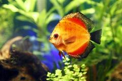 Feuerrote Discus-Fische Lizenzfreie Stockfotos