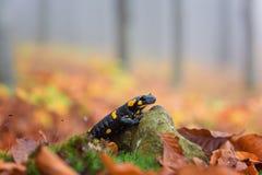 Feuersalamander im nebelhaften Wald des Herbstes, wildes Tier in der Natur Stockfoto
